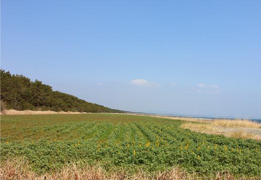 「柏原海岸のルーピン」 写真2