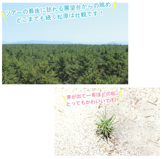 ツアーの最後に訪れる展望台からの眺め。どこまでも続く松原は壮観です! 芽が出て一年ほどの松。とってもかわいいです!